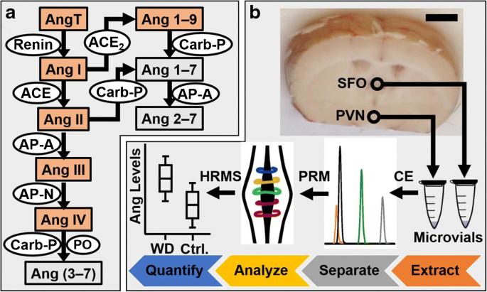 A microanalytical capillary electrophoresis mass spectrometry ...