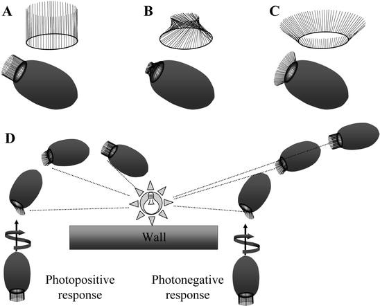 The cellular basis of photobehavior in the tufted parenchymella ...