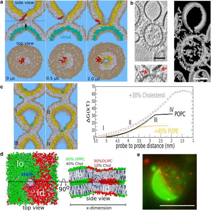 How proteins open fusion pores: insights from molecular ...