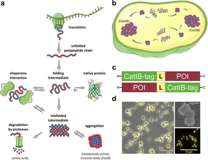 Catalytically-active inclusion bodies for biotechnology—general ...