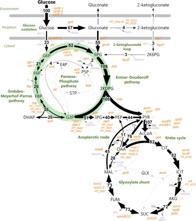Industrial biotechnology of Pseudomonas putida: advances and ...
