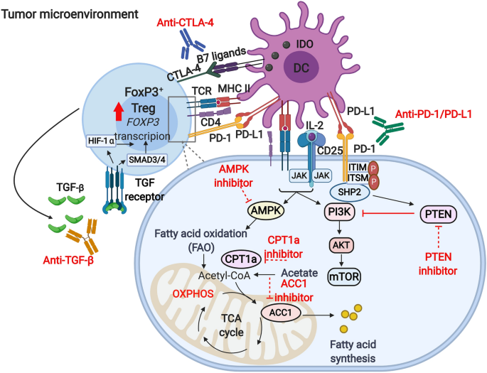 Metabolic reprogramming of T regulatory cells in the hypoxic tumor ...