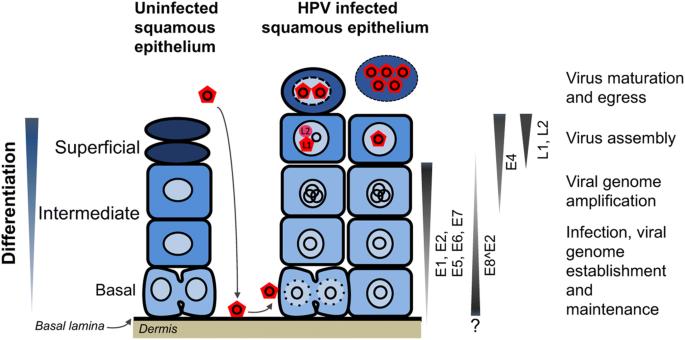Hpv tumor suppressor genes