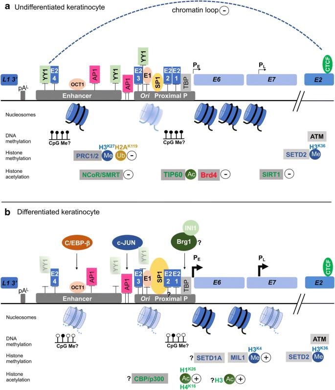 epigenetikus papilloma
