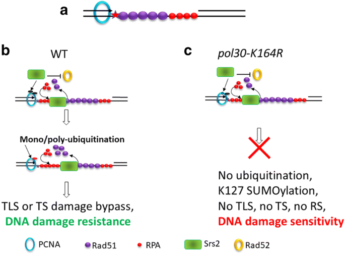 How Yeast Cells Deal With Stalled Replication Forks Springerlink