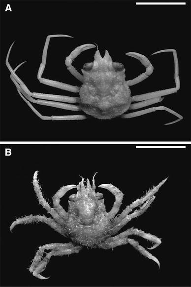 Development Of Snow Crab Chionoecetes Opilio Crustacea Decapoda Oregonidae Invasion In The Kara Sea Springerlink