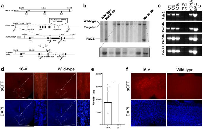 Mouse model of the human serotonin transporter-linked polymorphic ...