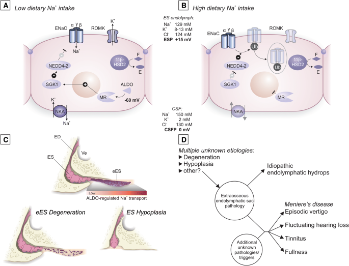 Inner Ear Pathologies Impair Sodium Regulated Ion Transport In Meniere S Disease Springerlink
