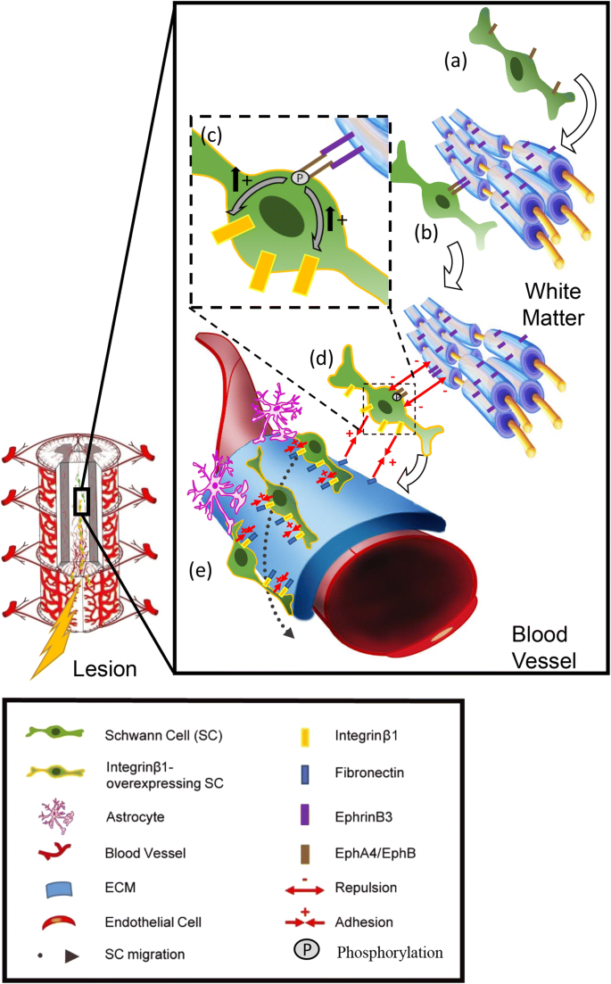 Blood vessels guide Schwann cell migration in the adult ...