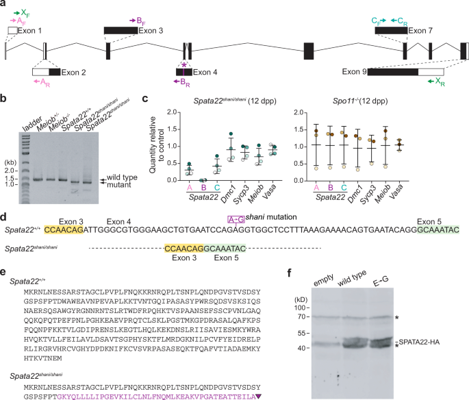 shani mutation in mouse affects splicing of Spata22 and leads to ...