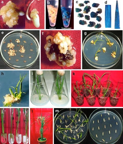 Transgenic rice expressing Allium sativum leaf lectin with ...