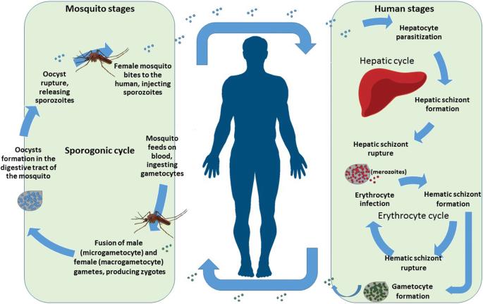 Plasmodium malária genom, Férgek schistosoma alternatív kezelése