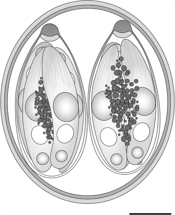 Isospora svecica sp. n. (Apicomplexa: Eimeriidae), a new species ...