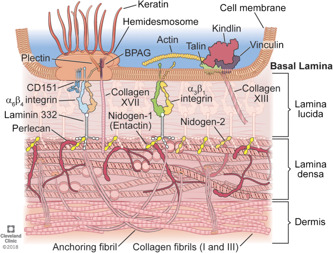 Basement Membranes In The Cornea And Other Organs That Commonly Develop Fibrosis Springerlink