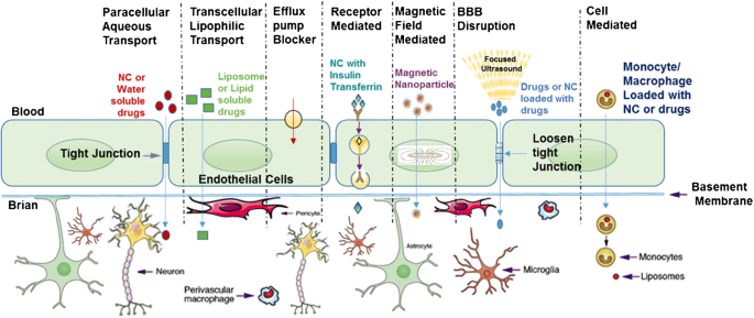 Penetration of the blood-brain barrier by peripheral neuropeptides ...