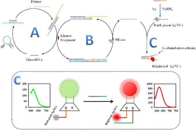 Label Free Detection Of Microrna Two Stage Signal Enhancement With Hairpin Assisted Cascade Isothermal Amplification And Light Up Dna Silver Nanoclusters Springerlink