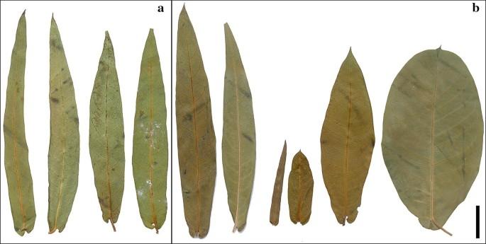 Leaf anatomical characters of Rhabdadenia (Rhabdadenieae ...