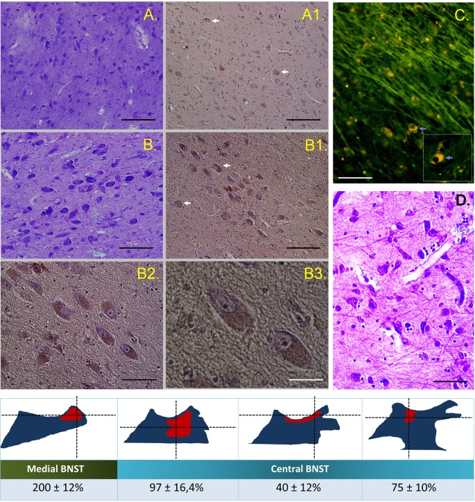 The first identification of nesfatin-1-expressing neurons in the ...