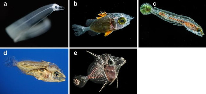 Taxonomy And Systematics Of Larval Indo Pacific Fishes A Review Of Progress Since 1981 Springerlink