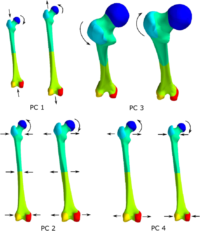 Influence of femoral external shape on internal architecture and ...