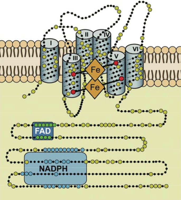 The defense and signaling role of NADPH oxidases in eukaryotic ...