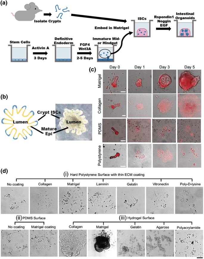 Materials And Microenvironments For Engineering The Intestinal Epithelium Springerlink