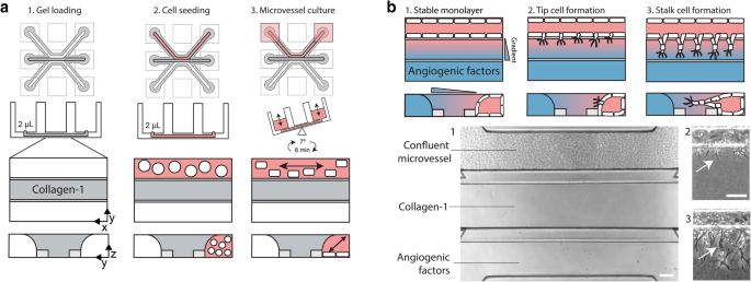 Perfused 3D angiogenic sprouting in a high-throughput in vitro ...