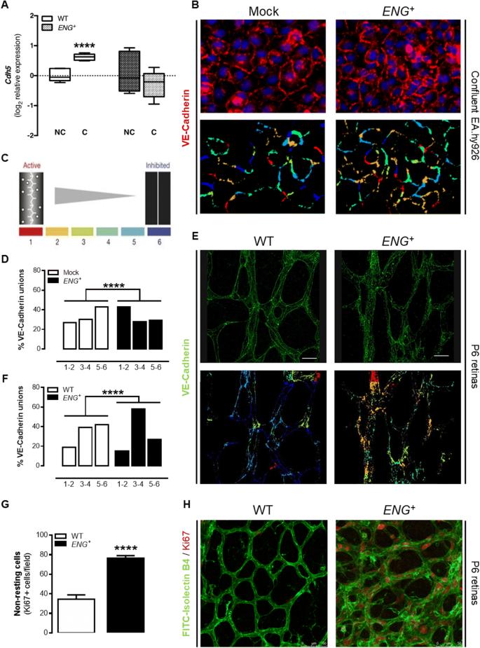 Continuous endoglin (CD105) overexpression disrupts angiogenesis ...