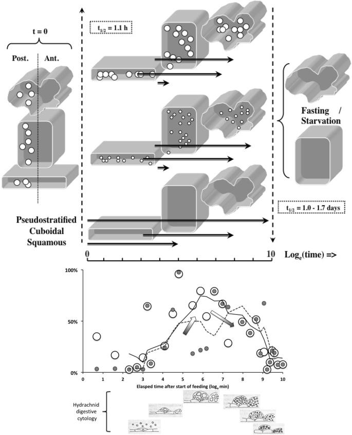The gut epithelium from feeding to fasting in the predatory soil mite  Pergamasus longicornis (Mesostigmata: Parasitidae): one tissue, two roles |  SpringerLink