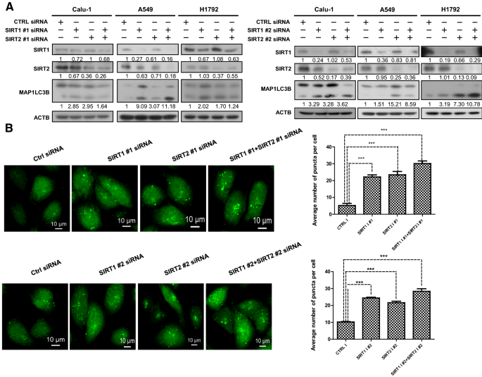 Inhibition of SIRT1/2 upregulates HSPA5 acetylation and induces ...