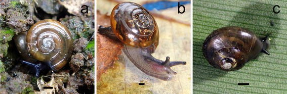 predation on endemic hawaiian land snails by the invasive