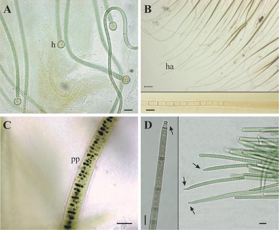 Cyanobacteria as bioindicators and bioreporters of environmental ...