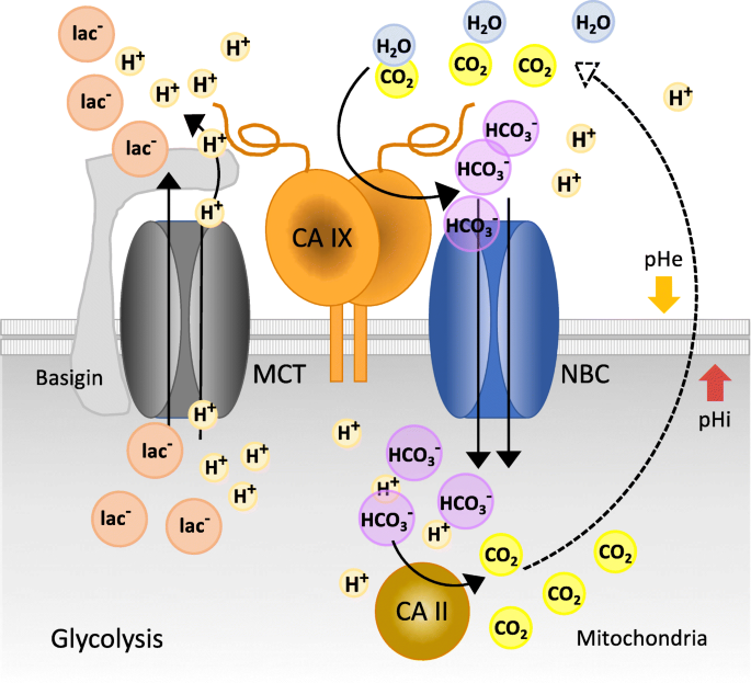The role of carbonic anhydrase IX in cancer development: links to ...