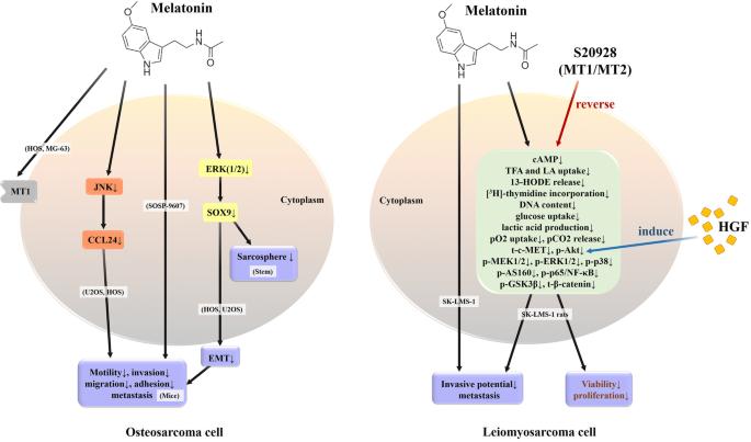 New insights into antimetastatic signaling pathways of melatonin ...