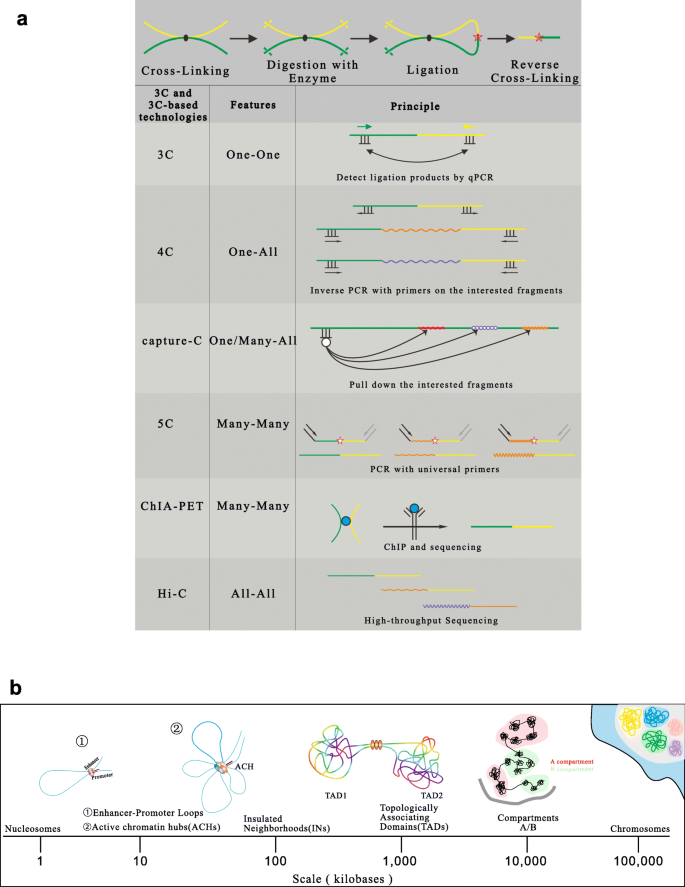 3D genome and its disorganization in diseases   SpringerLink