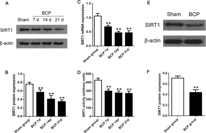 SIRT1 Activation Attenuates Bone Cancer Pain by Inhibiting mGluR1 ...