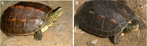 DNA evidence for the hybridization of wild turtles in Taiwan ...