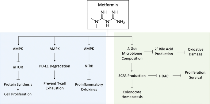 Metformin Microbiome And Protection Against Colorectal Cancer Springerlink