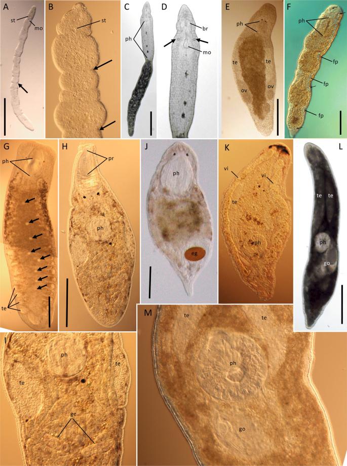 Platyhelminthes dal, Romlás jön ki a férgek