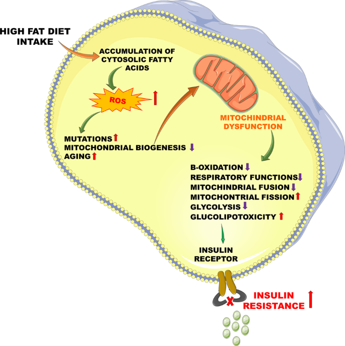 does diet have an effect on mitochondria