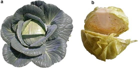 White Cabbage Brassica Oleracea Var Capitata F Alba