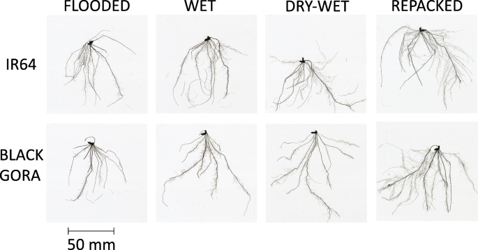 Interaction between contrasting rice genotypes and soil physical conditions  induced by hydraulic stresses typical of alternate wetting and drying  irrigation of soil | SpringerLink