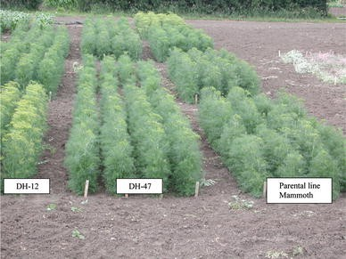 Field evaluation of doubled haploid plants in the Apiaceae : dill ...