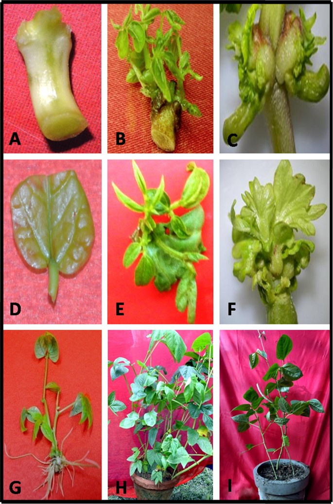 Current Advances And Future Directions In Genetic Enhancement Of A Climate Resilient Food Legume Crop Cowpea Vigna Unguiculata L Walp Springerlink
