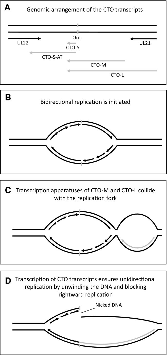 Interactions Between The Transcription And Replication Machineries Regulate The Rna And Dna Synthesis In The Herpesviruses Springerlink