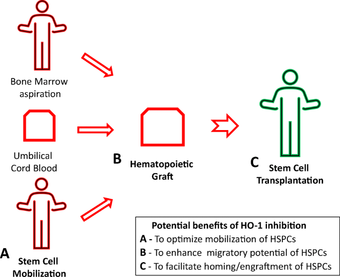 Heme Oxygenase 1 Ho 1 As An Inhibitor Of Trafficking Of Normal And Malignant Hematopoietic Stem Cells Clinical And Translational Implications Springerlink