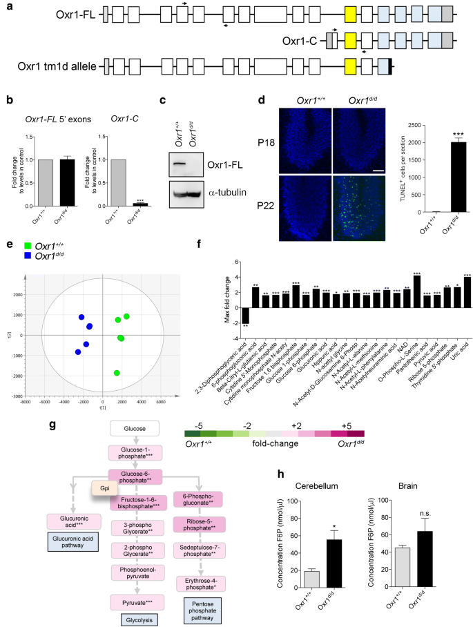 Oxidation Resistance 1 Modulates Glycolytic Pathways in the ...