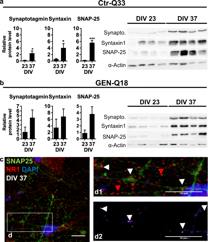 Human Pluripotent Stem Cell-Derived Neurons Are Functionally ...