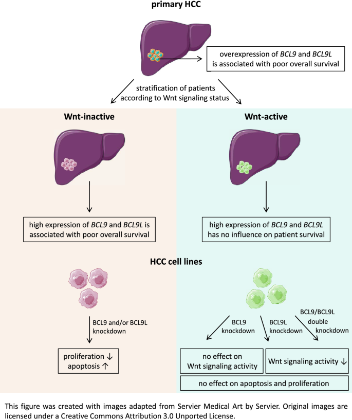 Wnt Status Dependent Oncogenic Role Of Bcl9 And Bcl9l In Hepatocellular Carcinoma Springerlink