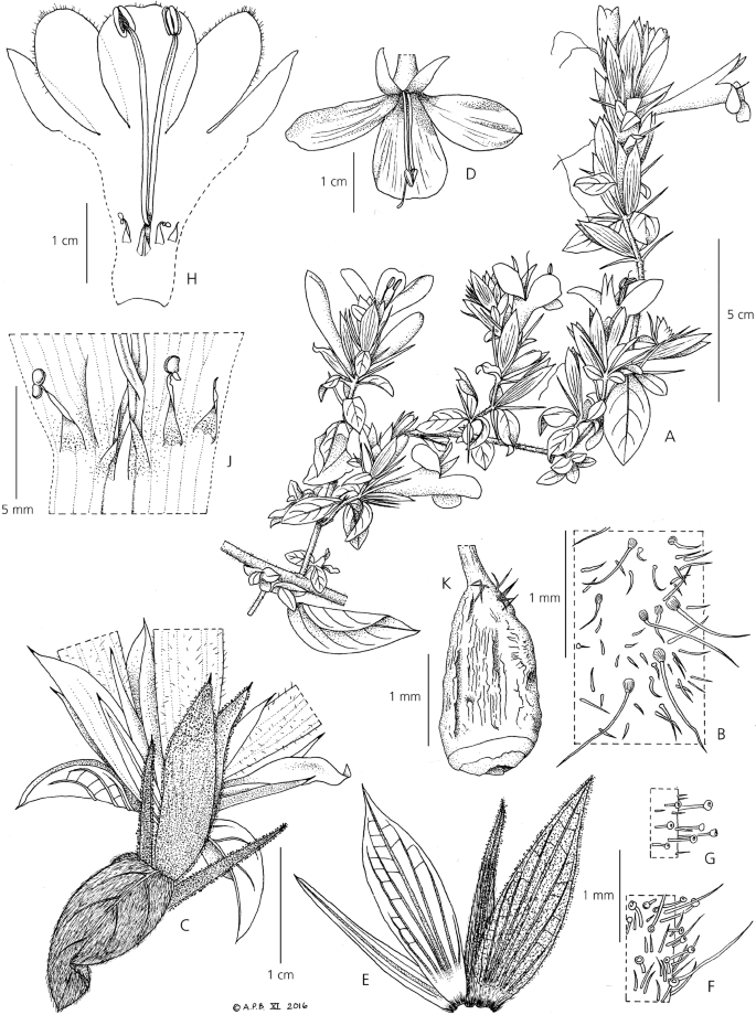 A Taxonomic Revision Of Acanthaceae Tribe Barlerieae In Angola And Namibia Part 1 Springerlink